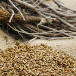 Bärwurz - Wurzel und Samen