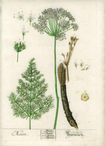 Bärwurz - Zeichnung um 1700