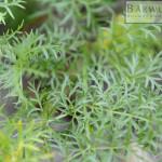 Mutterwurz Blätter